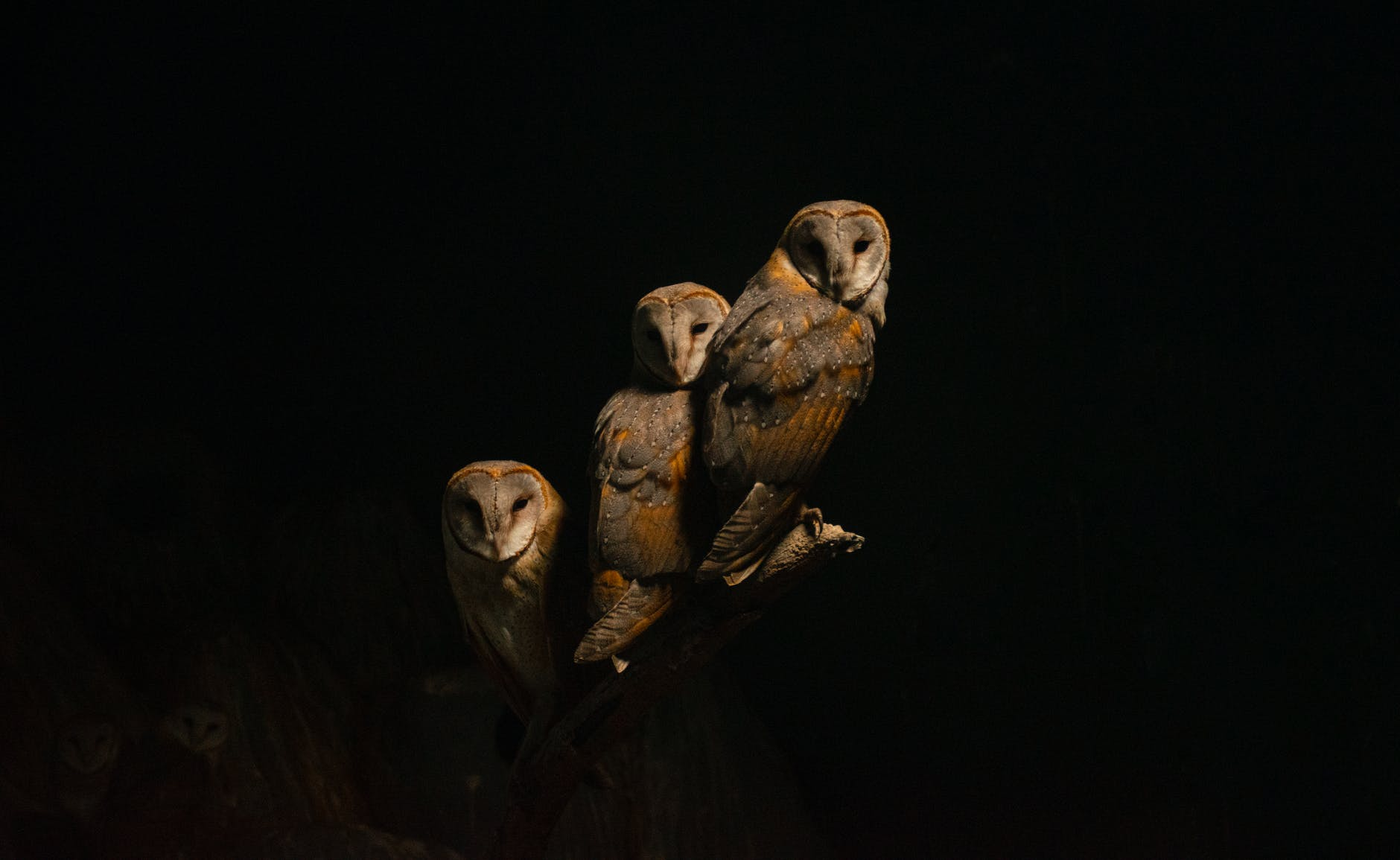 brown owls on a tree branch